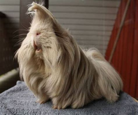 10 Guinea Pigs With The Most Majestic Hair Ever