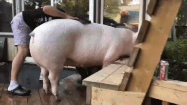 Big Pig GIFs - Find & Share on GIPHY
