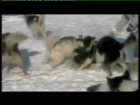 Wolves Attack Humans and Sled-dogs (test , intimidation