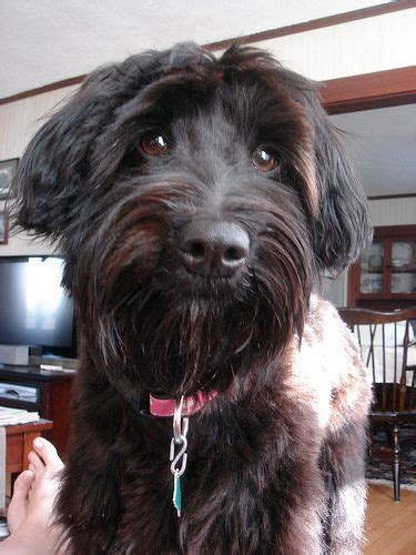 15 best Schnoodle grooming, info (With images)   Schnoodle
