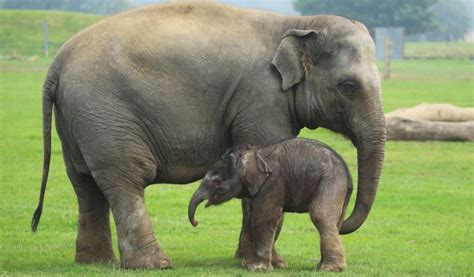 Is An Elephant a Mammal? - Small Animal Planet