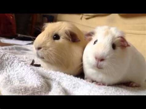 Peculiar Guinea-pigs are funny #eat their own poo - YouTube