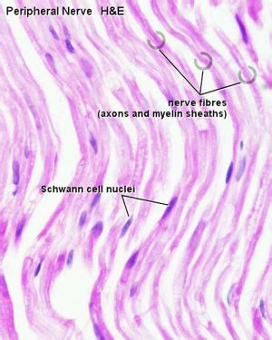 AE Practical - Neural Histology - Embryology